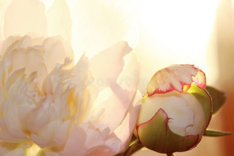 Запачканная подрезанная съемка розового цветка Цветок пиона, закрывает вверх Цветочный узор со светлым - розовый цветок пиона Мяг стоковая фотография
