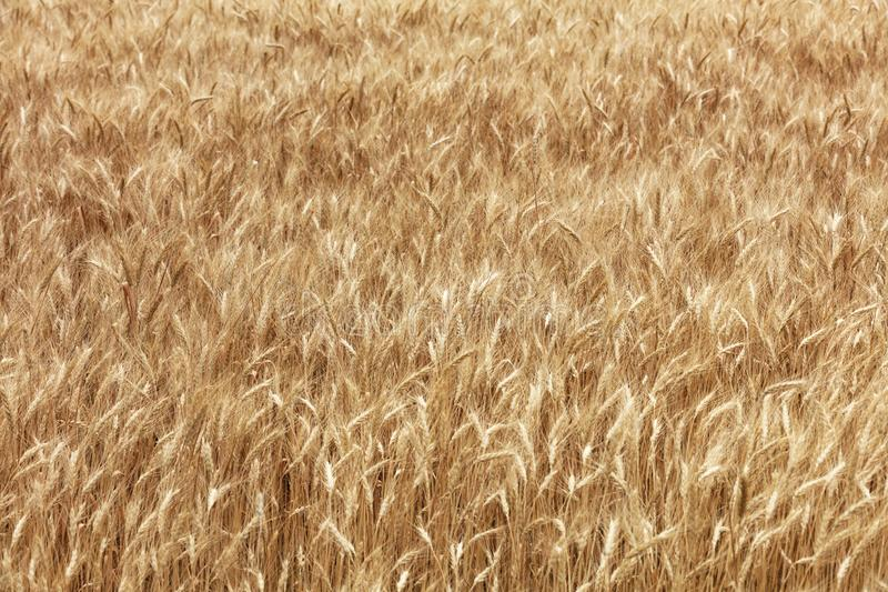 Запачканная предпосылка золотого поля расти зрелая пшеница стоковое фото