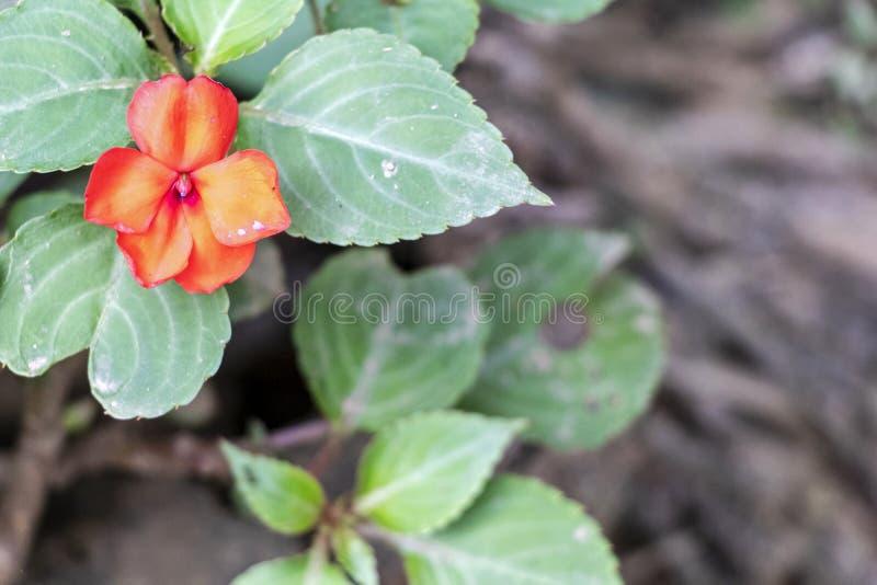 Запачканная предпосылка с тропическими цветками, сиротливый красный цветок природы зацветая в лесе стоковое изображение rf
