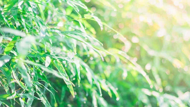 Запачканные зеленые бамбуковые лист с предпосылкой падения воды в сезоне лета утра стоковая фотография