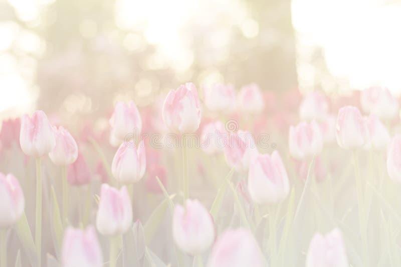 Запачканные красивые тюльпаны зацветая в сезоне зимы стоковая фотография rf