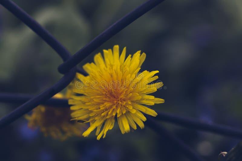Запачканный цветок одуванчика над тонизированной сетью утюга, стоковые изображения