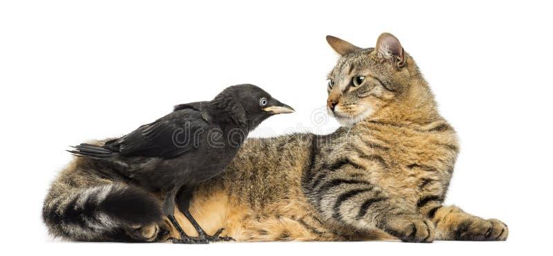 Западная галка и лежа кот смотря изолированный один другого, стоковое изображение rf