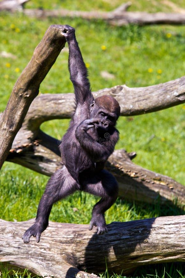 западная горилла стоковое фото rf