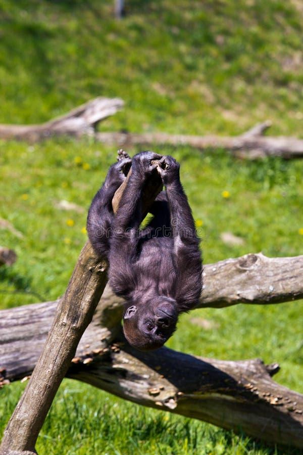 западная горилла стоковое фото