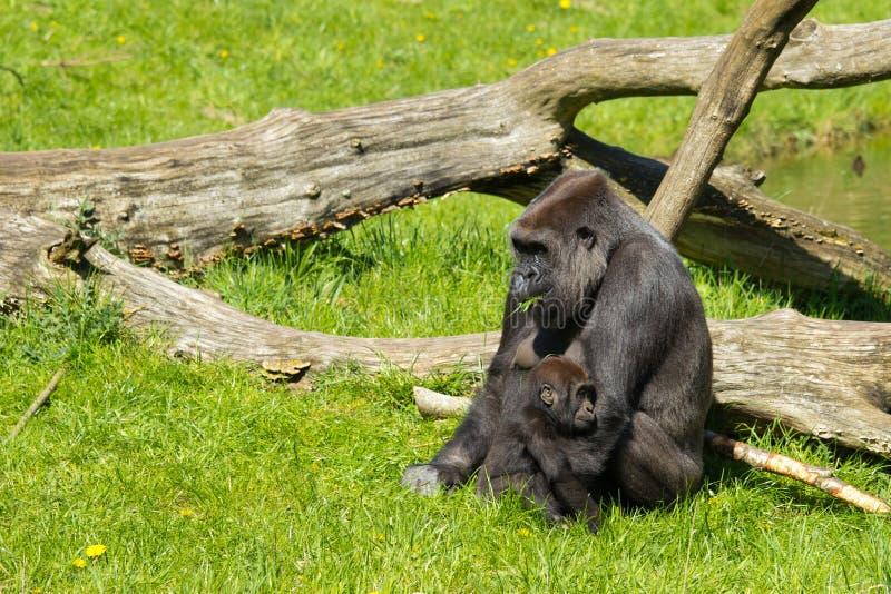 западная горилла стоковые изображения rf