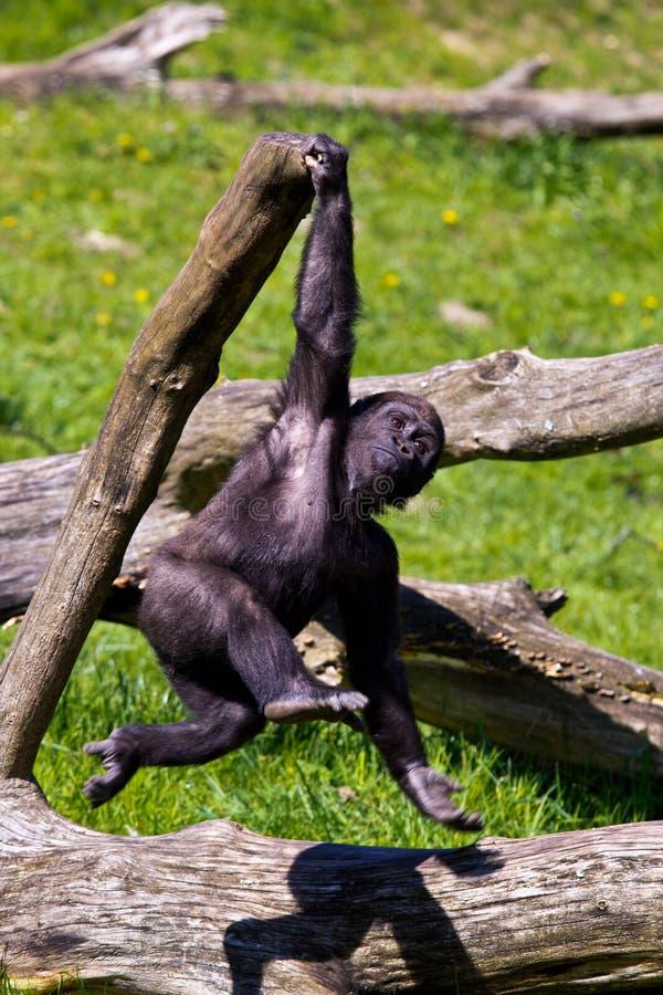 западная горилла стоковые фото