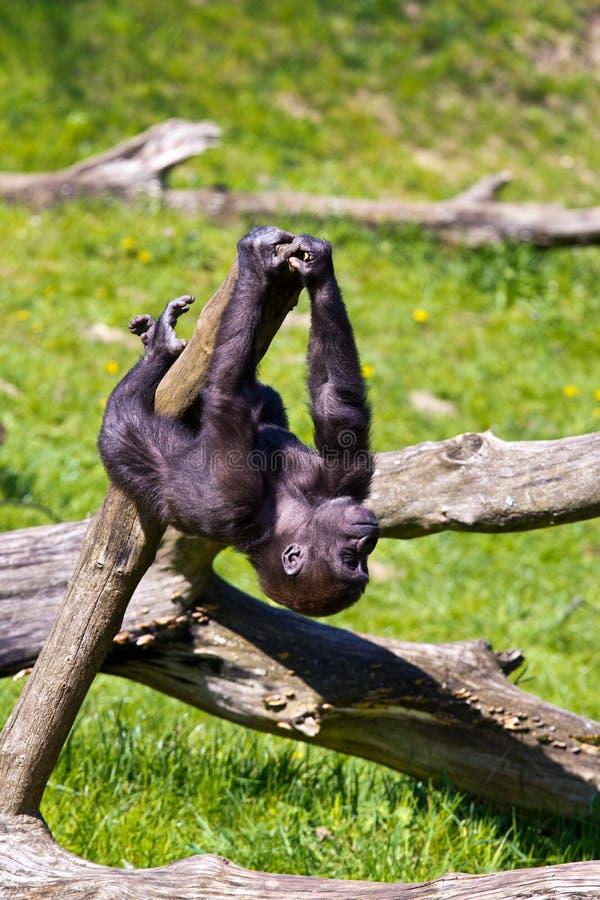 западная горилла стоковые фотографии rf