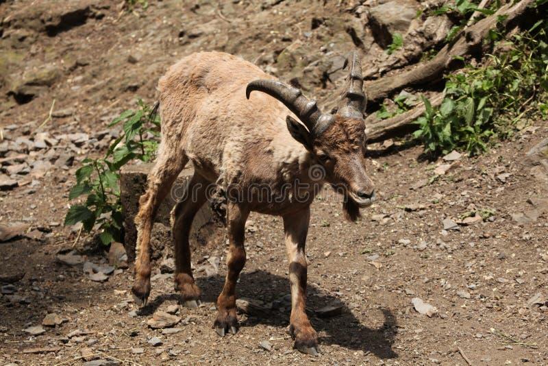 Западное кавказское tur (caucasica Capra) стоковое фото rf