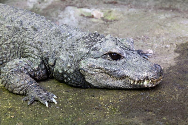 Западно-африканский крокодил карлика стоковые фото