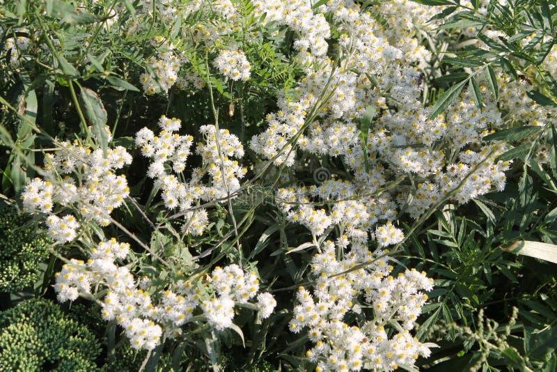 Западные жемчужные вековечные белые цветки стоковые фотографии rf