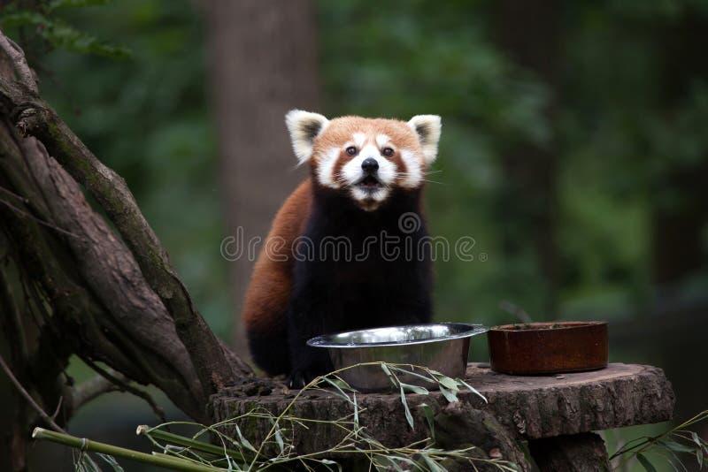 Download Западные Fulgens Fulgens Ailurus красной панды Стоковое Изображение - изображение насчитывающей фауна, погремушк: 81810211