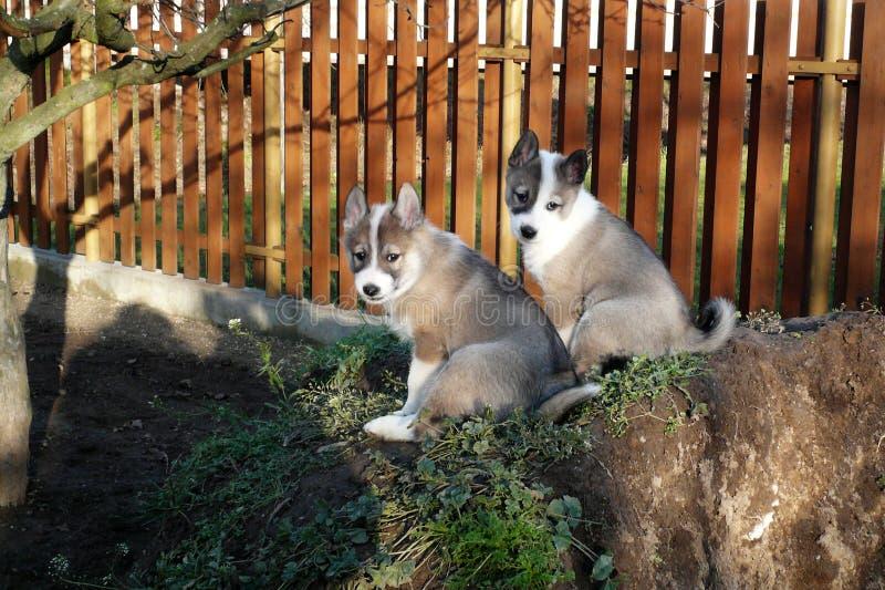 Западный сибиряк Laika 2 щенят стоковые фото