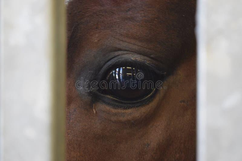 Заперли лошадь Брауна, который, смотрящ через серые бары стоковое фото rf