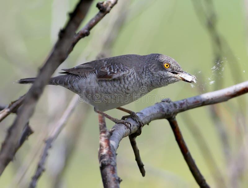 Запертое nisoria Сильвии певчей птицы с яркими желтыми глазами сидит на ветви стоковые фото