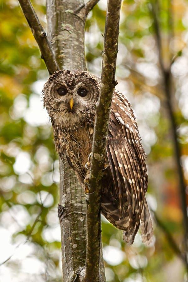 Запертый сыч в дереве в лесе стоковое фото rf