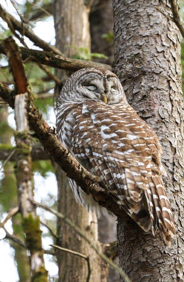 Запертый сыч спать в дереве стоковое фото