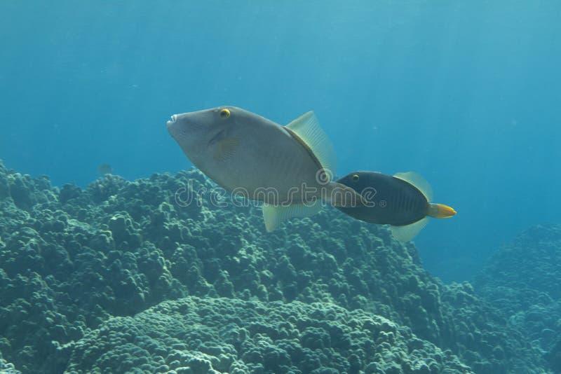 запертый filefish стоковые изображения rf