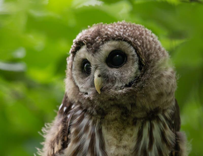 Запертый Owlet в дереве стоковые фото