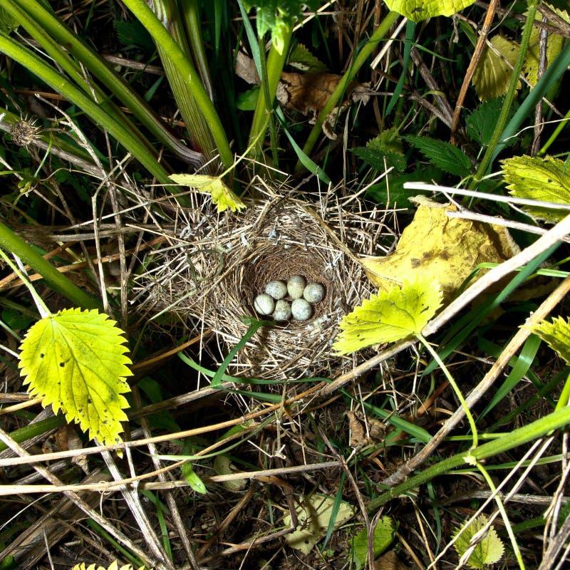 запертый warbler sylvia nisoria гнездя стоковое изображение rf