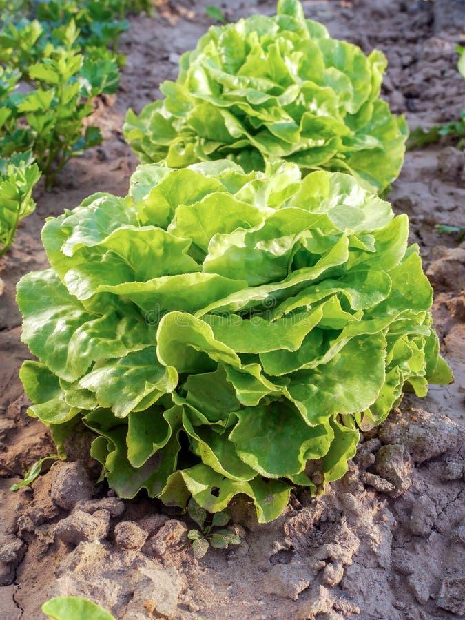 Заплата с органическим салатом стоковые изображения rf