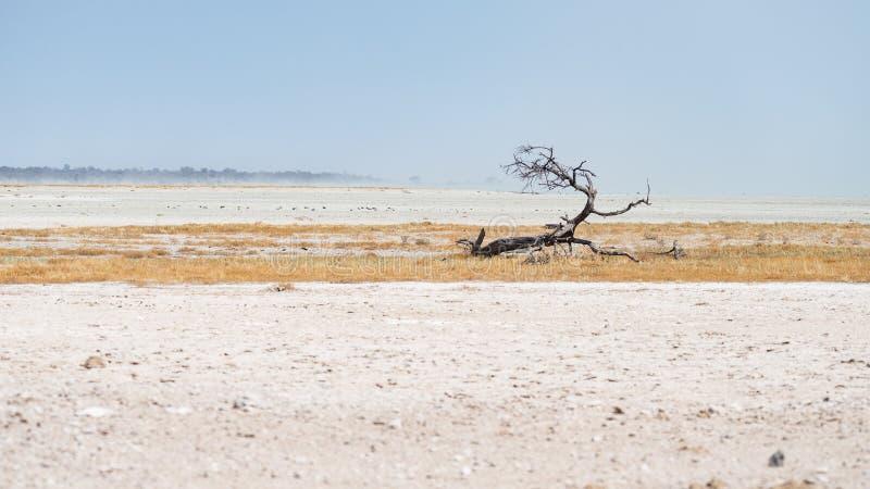 Заплетенное дерево акации в ландшафте в национальном парке Etosha, назначении пустыни перемещения в Намибии стоковое изображение