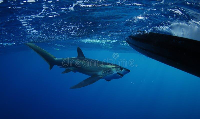Заплывание акулы молотильщика Bigeye стоковое фото