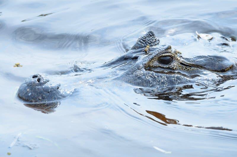 Заплывание аллигатора и плавать с головой из воды стоковое изображение rf