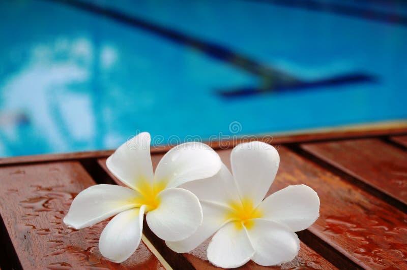 заплывание бассеина frangipani стоковое фото