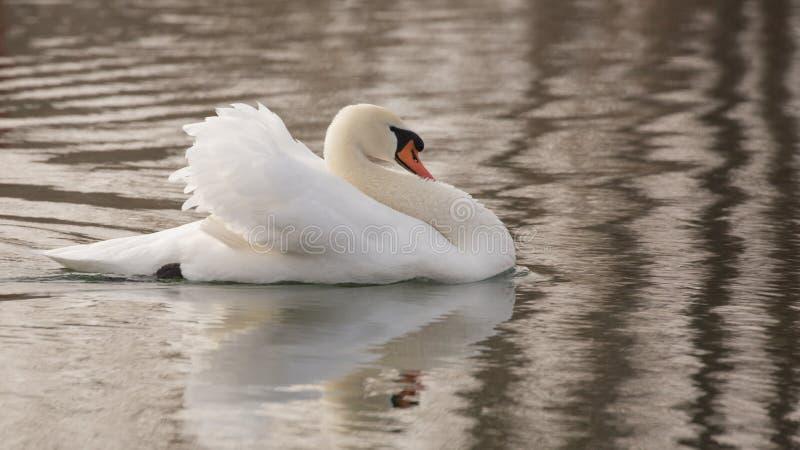 Заплывание безгласного лебедя в озере с ним задняя часть шеи ` s и поднятая половина крылов стоковое изображение