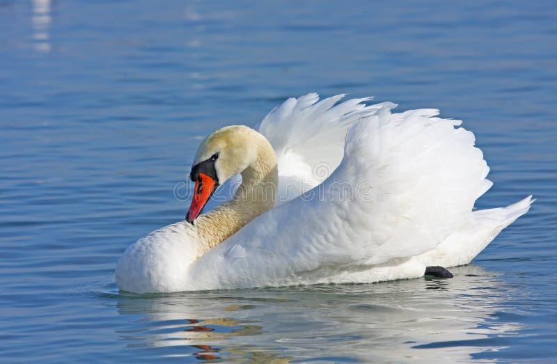 заплывание безгласного лебедя стоковое изображение