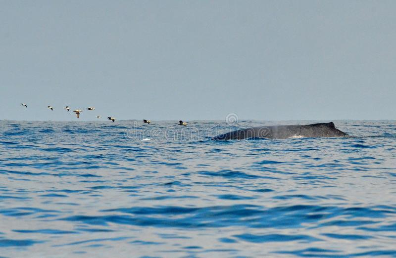 Заплывание горбатого кита на поверхности стоковое изображение