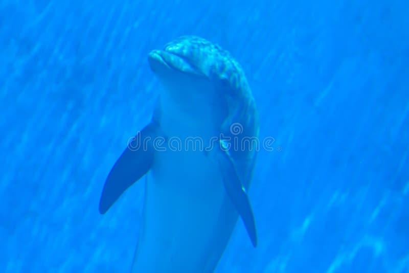 заплывание дельфина подводное стоковые фото