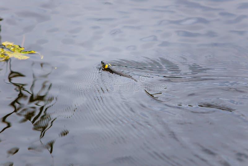 Заплывание змейки травы в озере в лете стоковое изображение rf