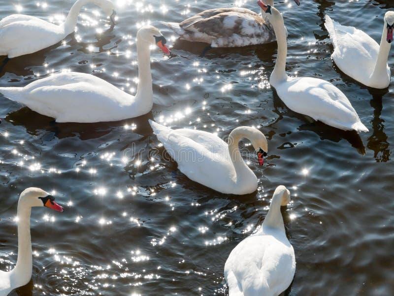 Заплывание лебедя на реке стоковое изображение