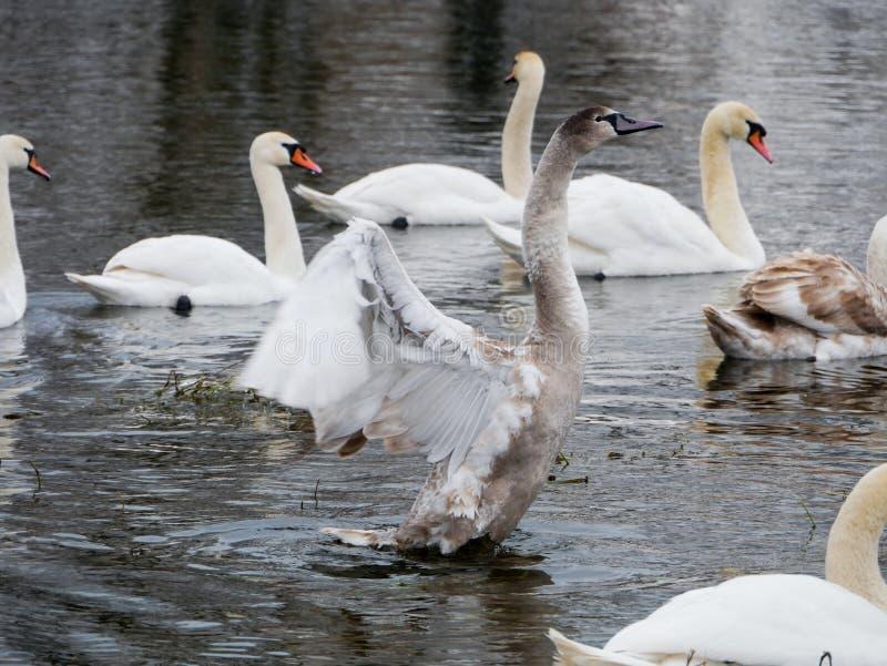 Заплывание лебедя на реке стоковое изображение rf
