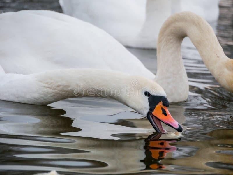 Заплывание лебедя на реке стоковое фото
