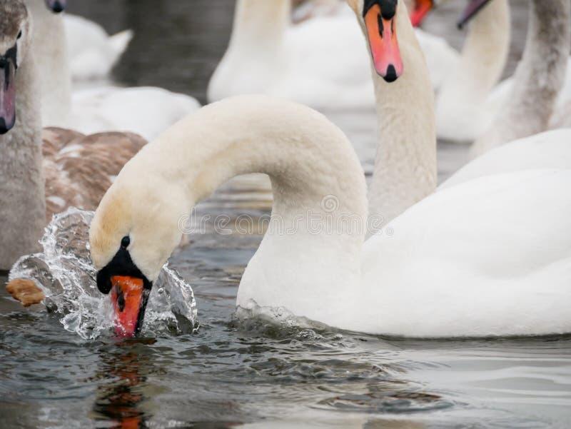 Заплывание лебедя на реке стоковые изображения