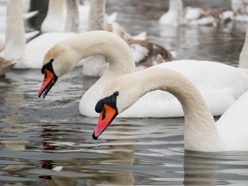 Заплывание лебедя на реке стоковые фотографии rf