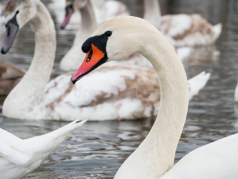 Заплывание лебедя на реке стоковые изображения rf