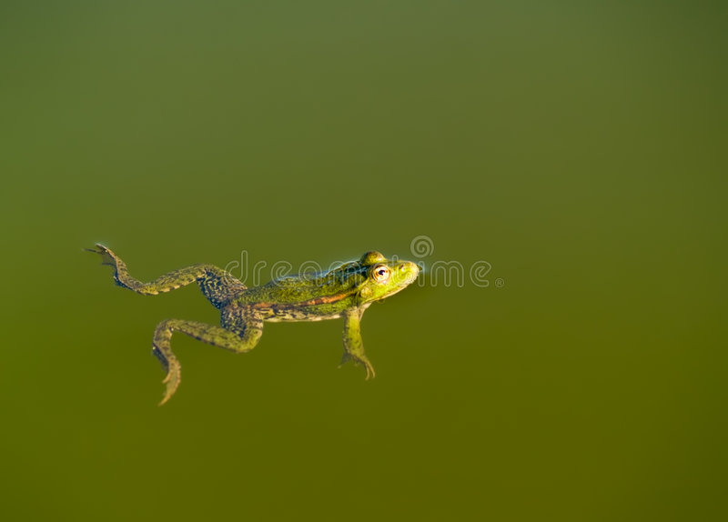 заплывание лягушки стоковое фото rf