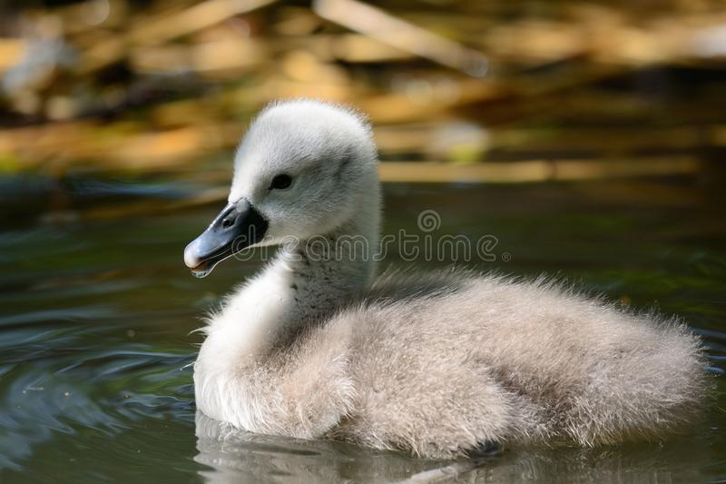 Заплывание молодого лебедя в воде стоковое изображение