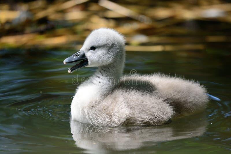 Заплывание молодого лебедя в воде стоковое изображение rf