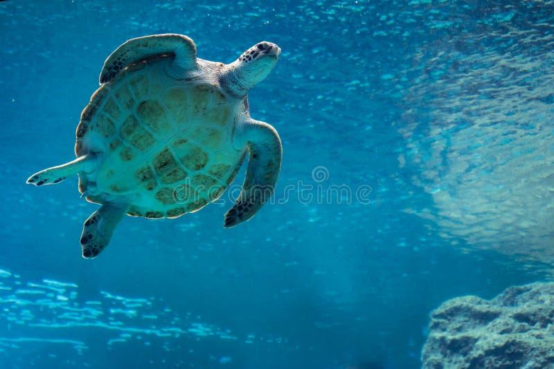 Заплывание морской черепахи в аквариуме стоковое фото