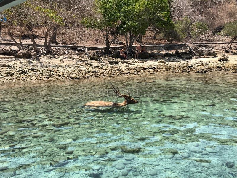 Заплывание оленей в океане стоковые изображения