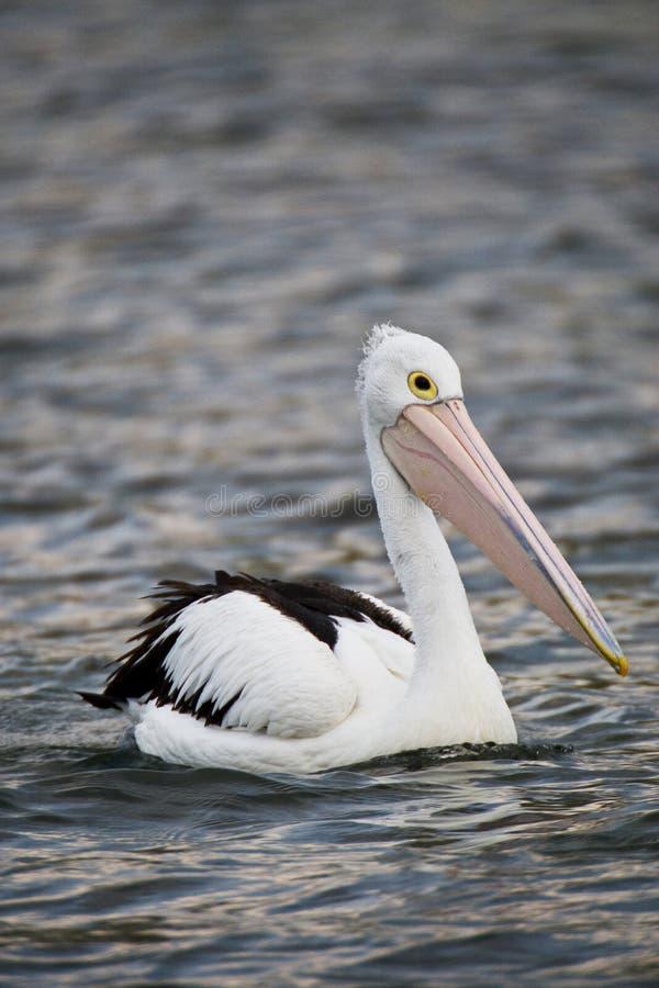 заплывание пеликана стоковые фотографии rf
