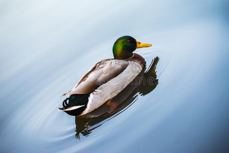 Заплывание утки в голубом озере стоковые фотографии rf
