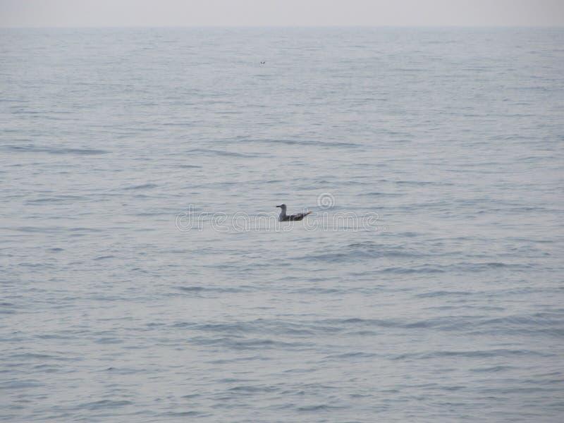 Заплывание чайки на море стоковое фото