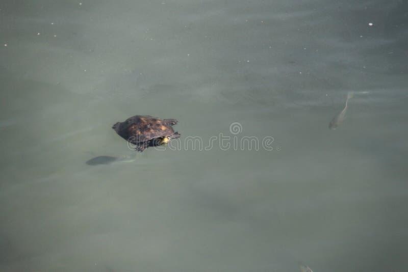 Заплывание черепахи в воде стоковые изображения rf