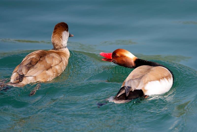 Заплывы евроазиатской Пенелопы Mareca Wigeon мужские в озере и вызывают женщину стоковая фотография rf